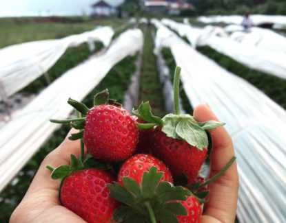Bali Strawberry Farm and Restaurant