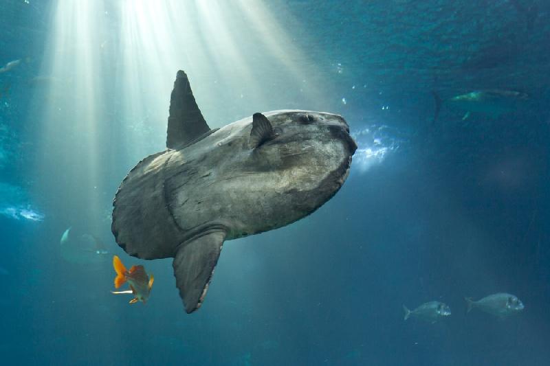 berenang bersama ikan mola-mola