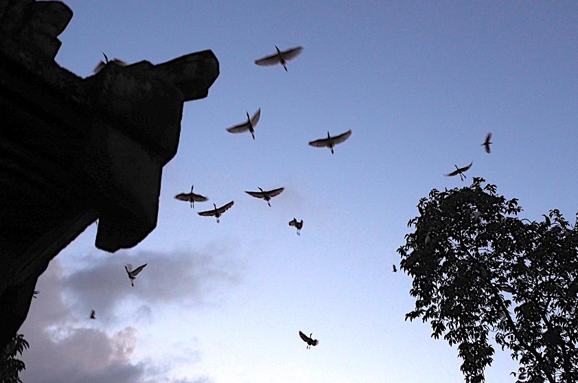 Desa Petulu Ubud 1 » Eksotisme Burung Bangau Putih di Desa Petulu Ubud