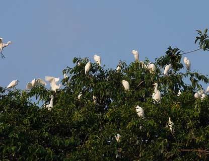 Desa Petulu Ubud 3 » Eksotisme Burung Bangau Putih di Desa Petulu Ubud