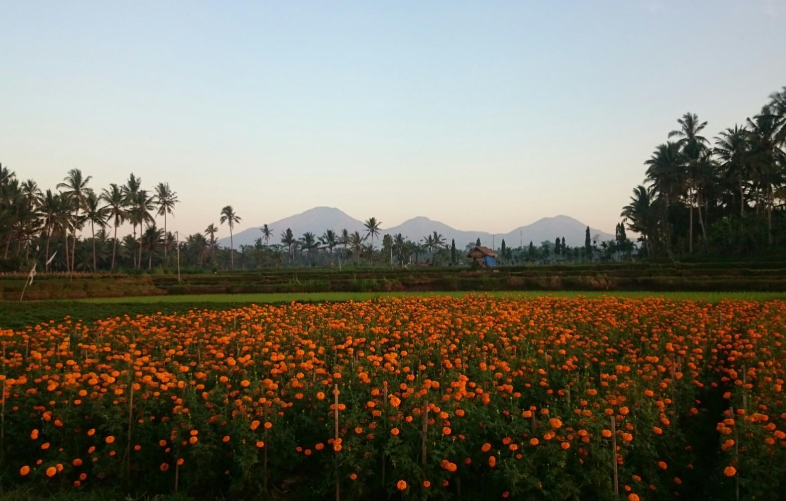 Desa Sobangan Mengwi, Wisata Desa yang Cantik dengan Kebun Bunga Warna-warni