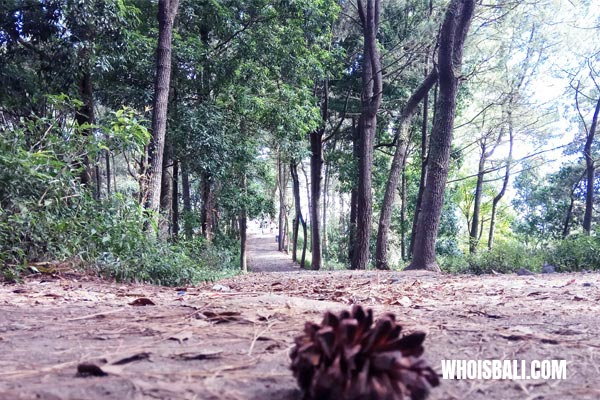 Hutan Pinus Kintamani 2 » Hutan Pinus Kintamani, Destinasi Kekinian Tempat Berburu Foto yang Asyik di Bali