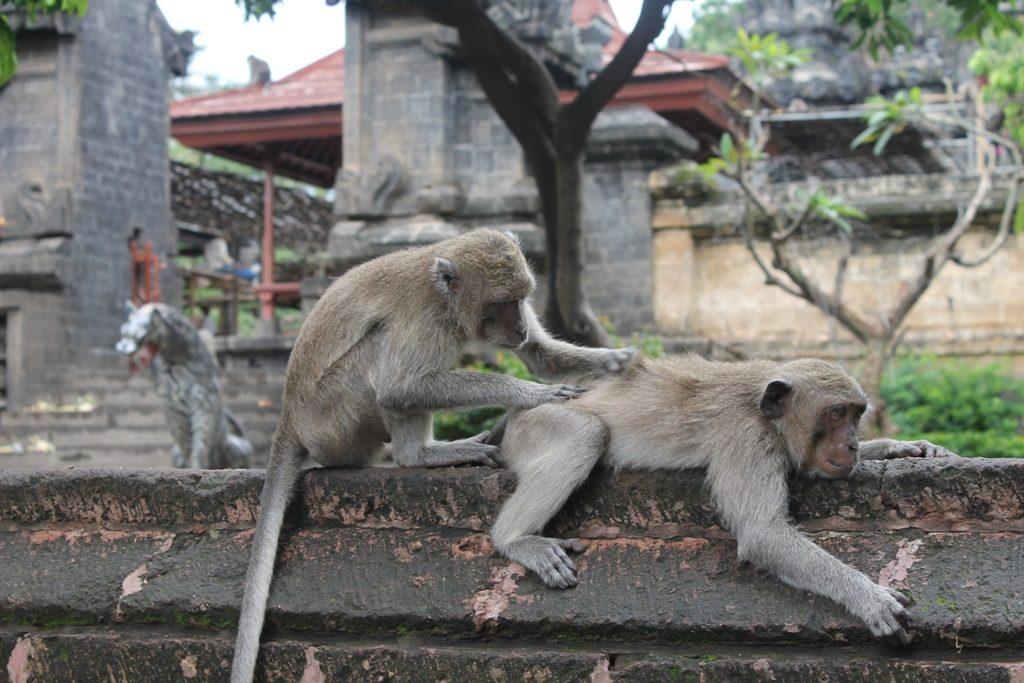 Kelakuan Monyet di Uluwatu 1 1024x683 » Fakta Unik Kelakuan Monyet di Uluwatu, Mencuri Barang untuk Ditukar Makanan