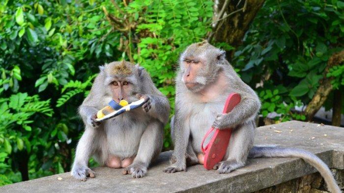 Fakta Unik Kelakuan Monyet di Uluwatu, Mencuri Barang untuk Ditukar Makanan