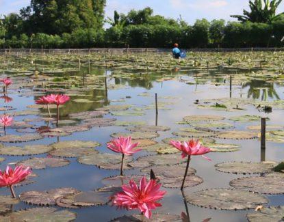 Kolam Bunga Teratai di Bali