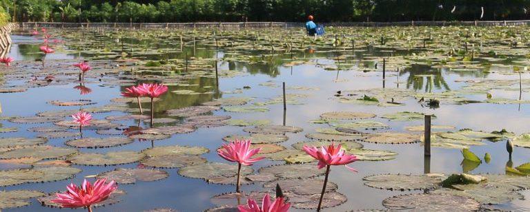 Menikmati Keindahan Kolam Bunga Teratai Di Bali Ini Destinasi Yang Bisa Anda Tuju Info Wisata Kintamani Bali