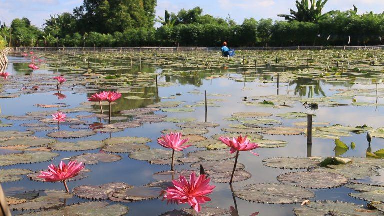 Kolam Bunga Teratai di Bali 2 » Menikmati Keindahan Kolam Bunga Teratai di Bali, Ini Destinasi yang Bisa Anda   Tuju!