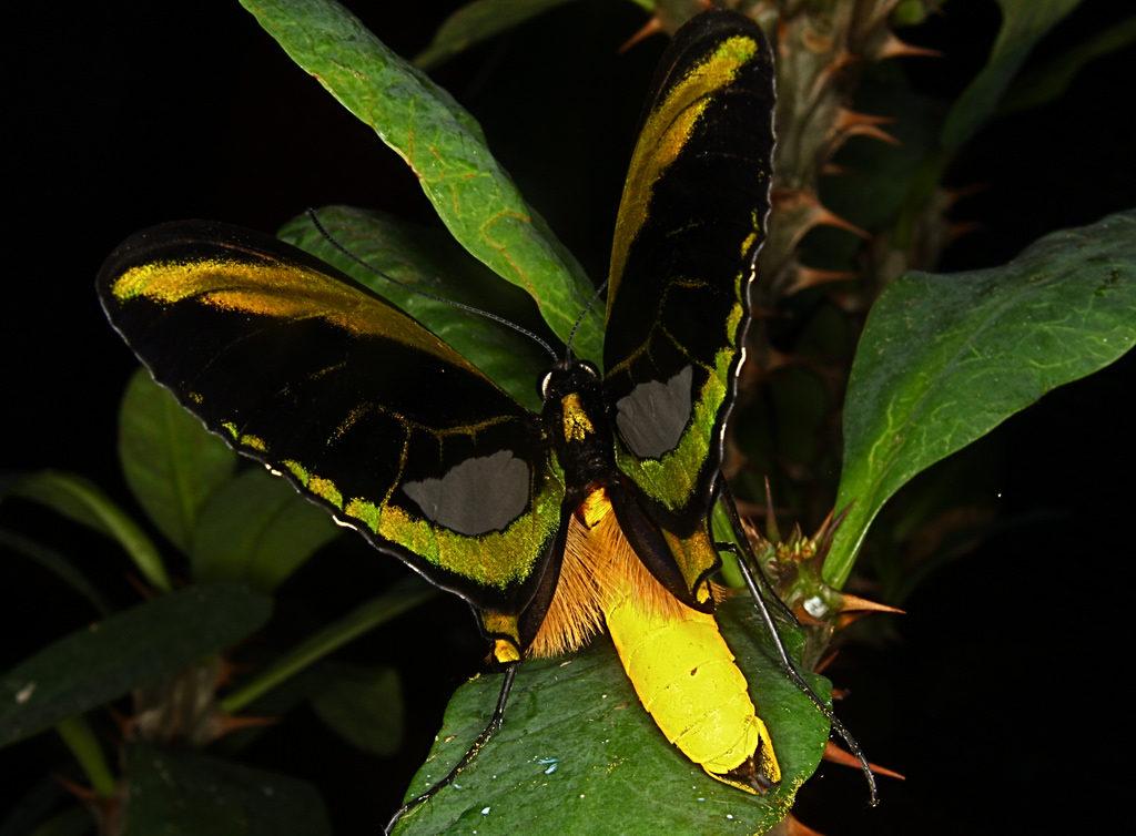 Kupu kupu sayap burung sorga di Taman Kupu Kupu Bali 1024x754 » Taman Kupu-Kupu Bali, Lokasi Liburan Keluarga Alternatif di Tabanan