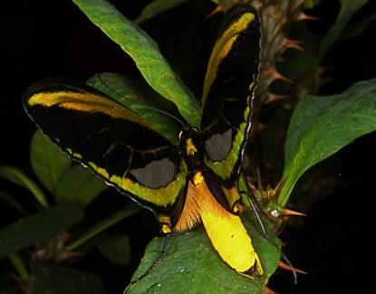 Kupu-kupu sayap burung sorga di Taman Kupu-Kupu Bali