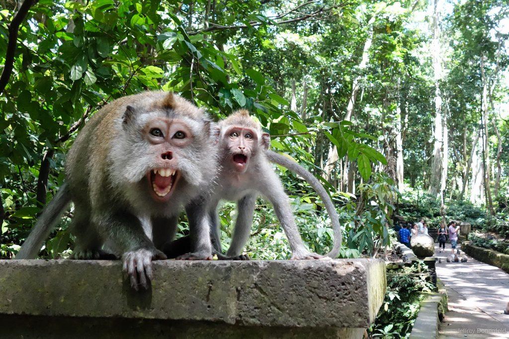 Monyet di Monkey Forest Ubud via ydcbalitour