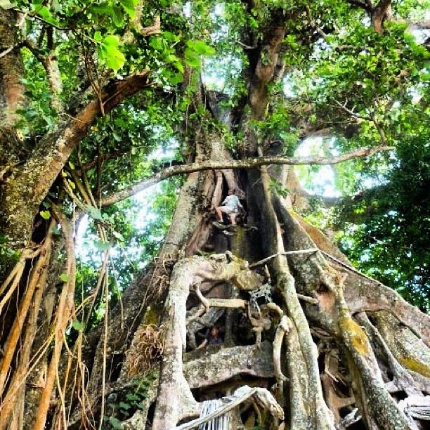 Pohon Banyan Raksasa Munduk 1 » Pohon Banyan Raksasa Munduk, Destinasi Wisata Tersembunyi Pohon Raksasa Berusia 7 Abad