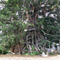 Pohon Bunyan Raksasa Munduk