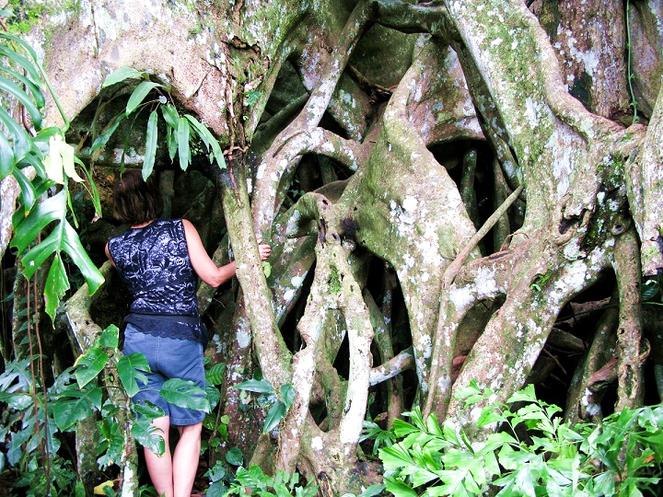 Pohon Banyan Raksasa Munduk 3 » Pohon Banyan Raksasa Munduk, Destinasi Wisata Tersembunyi Pohon Raksasa Berusia 7 Abad
