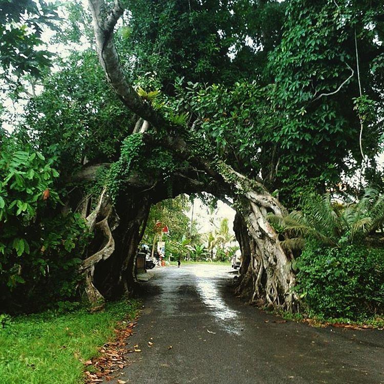 Pohon Bunut Bolong 1 » Pohon Bunut Bolong, Pohon Raksasa Unik yang Menyimpan Sisi Magis Misterius