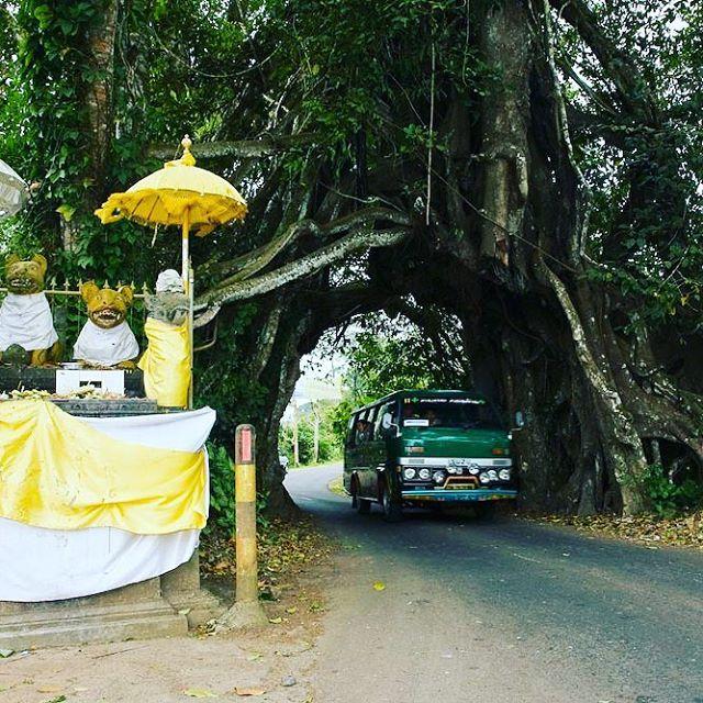 Pohon Bunut Bolong 2 » Pohon Bunut Bolong, Pohon Raksasa Unik yang Menyimpan Sisi Magis Misterius
