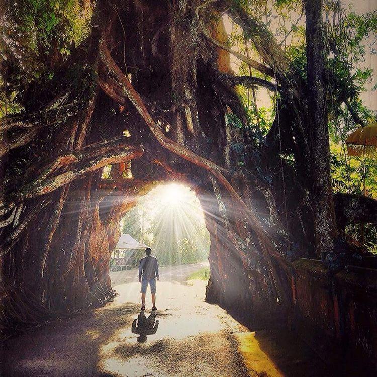 Pohon Bunut Bolong 3 » Pohon Bunut Bolong, Pohon Raksasa Unik yang Menyimpan Sisi Magis Misterius