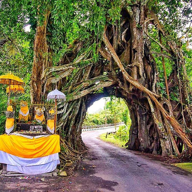 Pohon Bunut Bolong 4 » Pohon Bunut Bolong, Pohon Raksasa Unik yang Menyimpan Sisi Magis Misterius