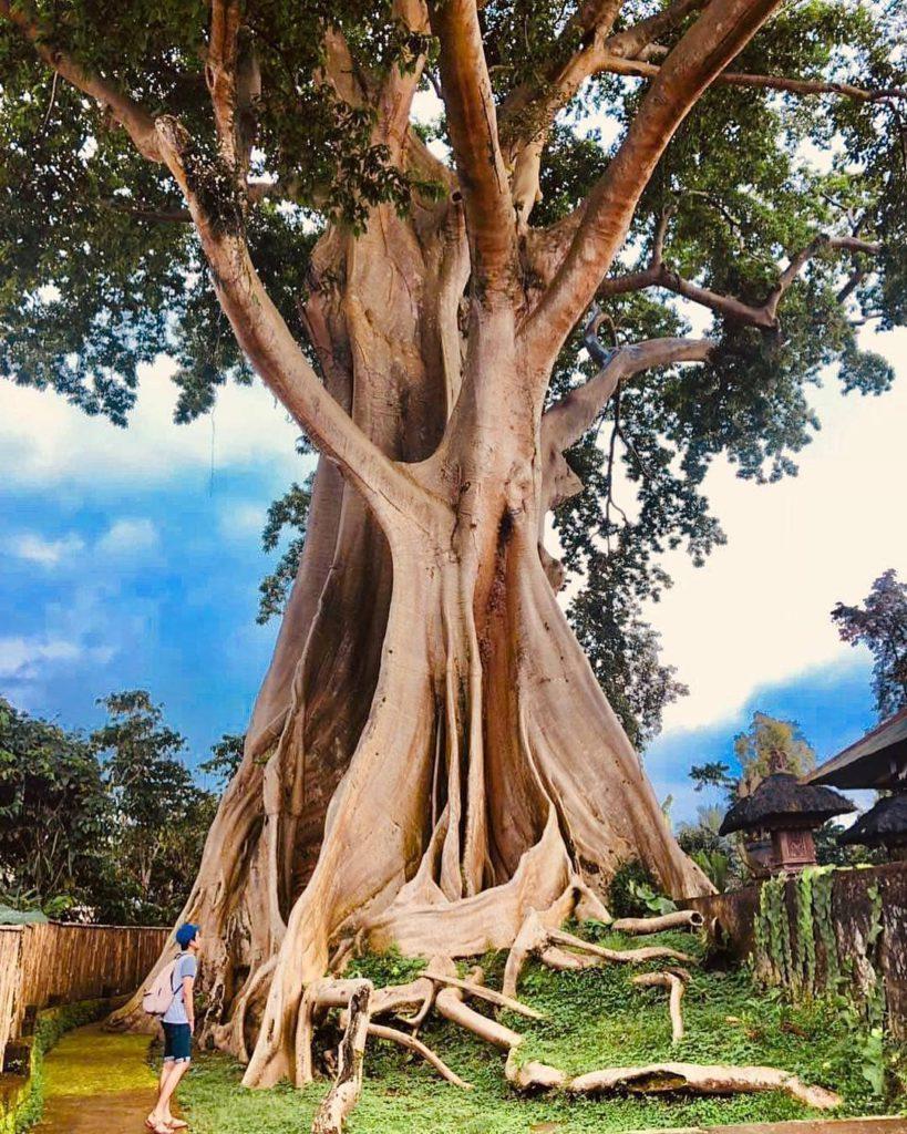 pohon raksasa desa tua