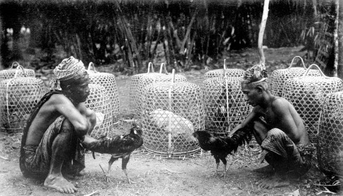 Sabung Ayam Tajen Bali