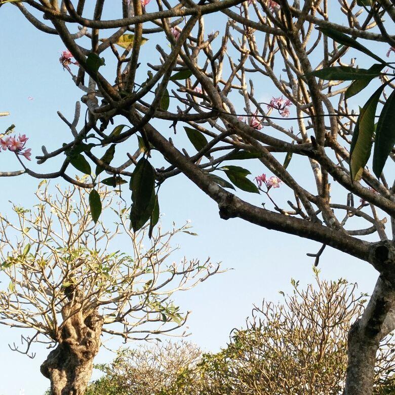 Taman Jepun Bali Frangipani 2 » Taman Jepun Bali Frangipani, Wisata Edukatif Menyaksikan Koleksi Bunga Jepun dari Berbagai Negara