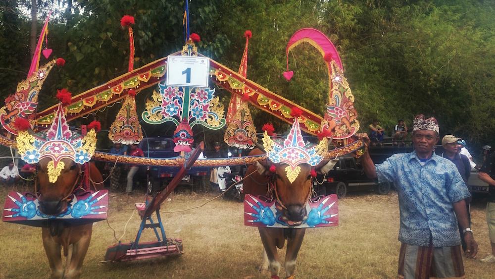 Tradisi Sampi gerumbungan khas Buleleng 2 » Uniknya Tradisi Sampi Gerumbungan Khas Buleleng