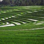 Wisata Terasering Sawah di Bali