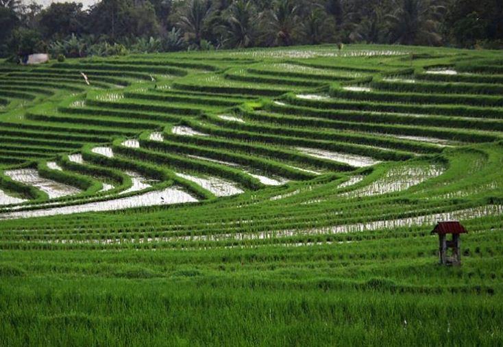 5 Pilihan Wisata Terasering Sawah di Bali yang Menarik Pesona Wisatawan