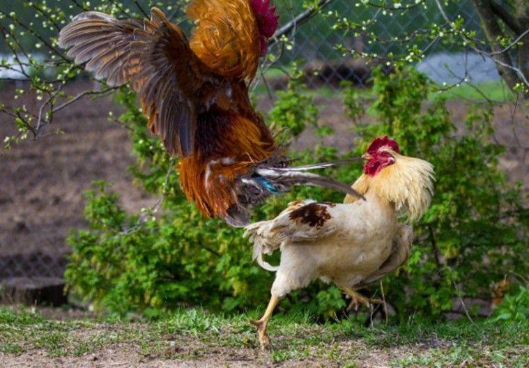 ayam di Bali