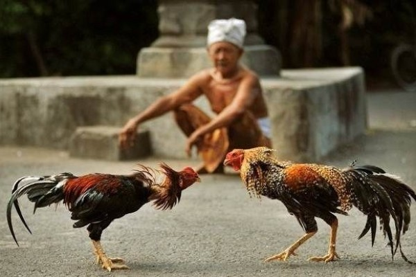 ayam di Bali 2 » Menelisik Lebih Dalam Fungsi dan Peran Ayam Bagi Masyarakat Hindu Bali