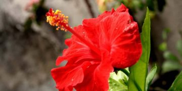 bunga pucuk bang