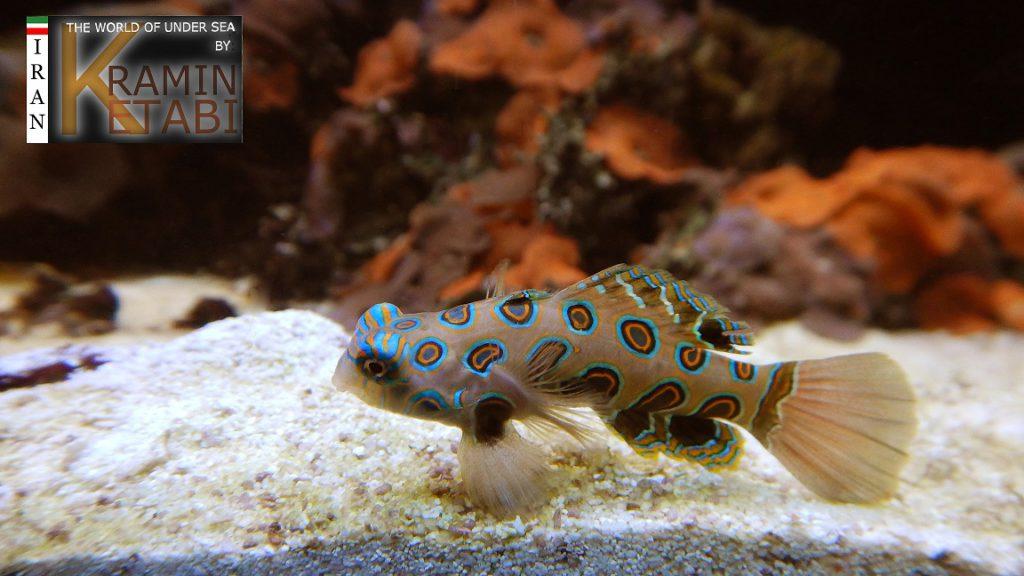 ikan pictured dragonet 2 1024x576 » Ikan Pictured Dragonet, Jenis Ikan Eksotis dari Bali yang Kini Makin Langka