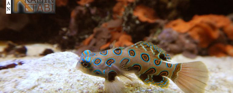 Ikan Pictured Dragonet