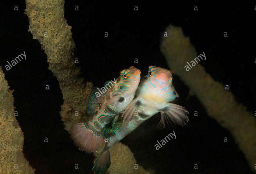 ikan pictured dragonet 3 » Ikan Pictured Dragonet, Jenis Ikan Eksotis dari Bali yang Kini Makin Langka