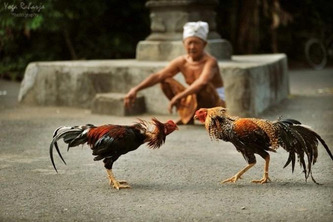 Mengenal Pengayam Ayaman, Panduan Menang Di Arena Sabung Ayam Bali
