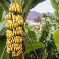 pisang 1 120x120 » Pisang, Jenis Buah yang Begitu Penting Bagi Masyarakat Hindu Bali