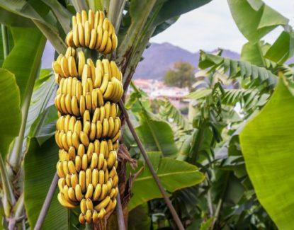 pisang 1 415x325 » Pisang, Jenis Buah yang Begitu Penting Bagi Masyarakat Hindu Bali