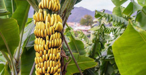 pisang 1 600x308 » Pisang, Jenis Buah yang Begitu Penting Bagi Masyarakat Hindu Bali