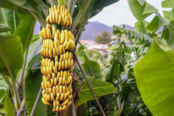 pisang 1 » Pisang, Jenis Buah yang Begitu Penting Bagi Masyarakat Hindu Bali