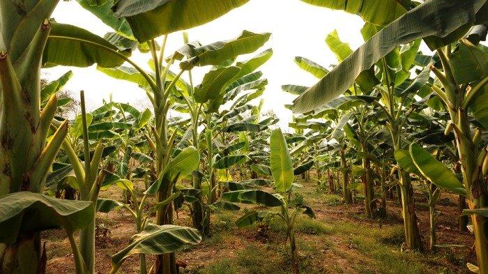 pisang 2 » Pisang, Jenis Buah yang Begitu Penting Bagi Masyarakat Hindu Bali