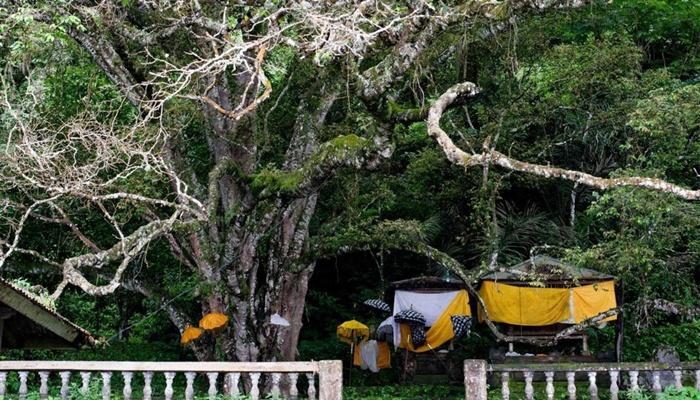 pohon taru menyan 3 » Melihat Keunikan Pohon Taru Menyan, Pohon Ajaib dari Bali
