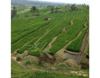 subak catur angga batukaru tabanan bali 415x325 » Wisata Subak Catur Angga Batukaru Tabanan, Lanskap Cantik dari Pulau Dewata