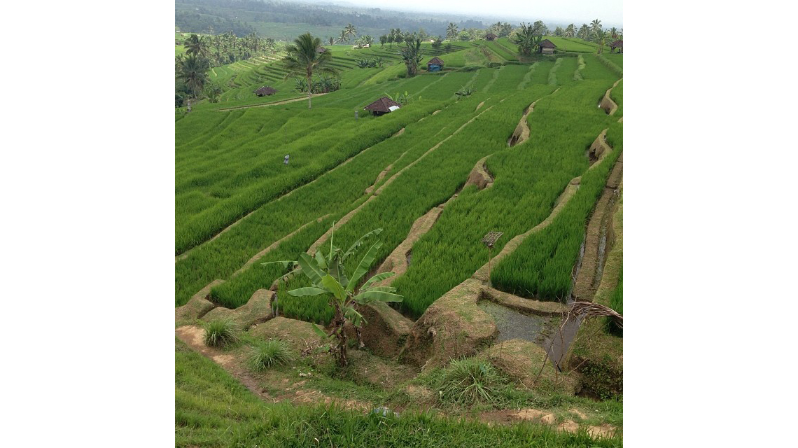 subak catur angga batukaru tabanan bali » Wisata Subak Catur Angga Batukaru Tabanan, Lanskap Cantik dari Pulau Dewata