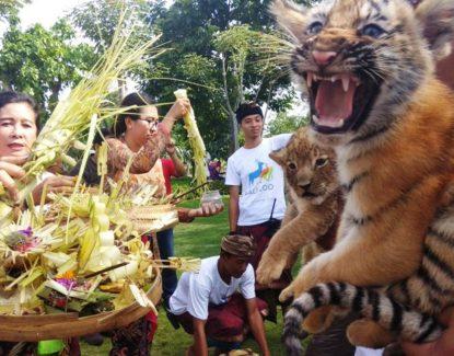 tradisi tumpek kandang di Bali