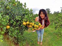 wisata petik jeruk kintamani